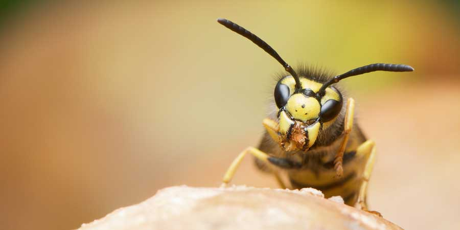 wasp pest control, Wasps